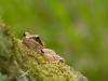 grenouille agile
