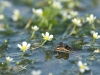 grenouille de perez