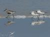 bécasseaux sanderling et bécasseau variable