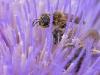 abeille dans un artichaut