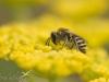 abeilledans une ombellifere