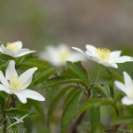 Anemone sylvie groupe