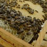 abeille7