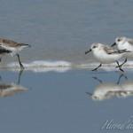 Bécasseau sanderling et Bécasseau variable
