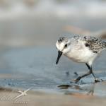 sanderling3